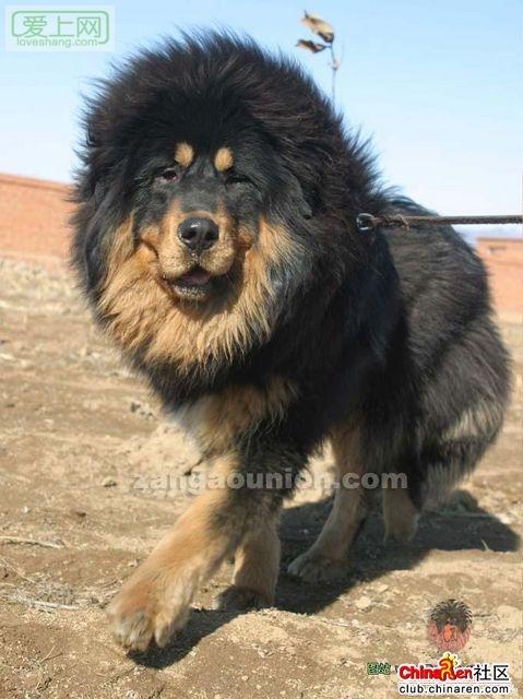 藏獒敢和狮子打架 中国藏獒 敢和老虎狮子搏斗 高清图片